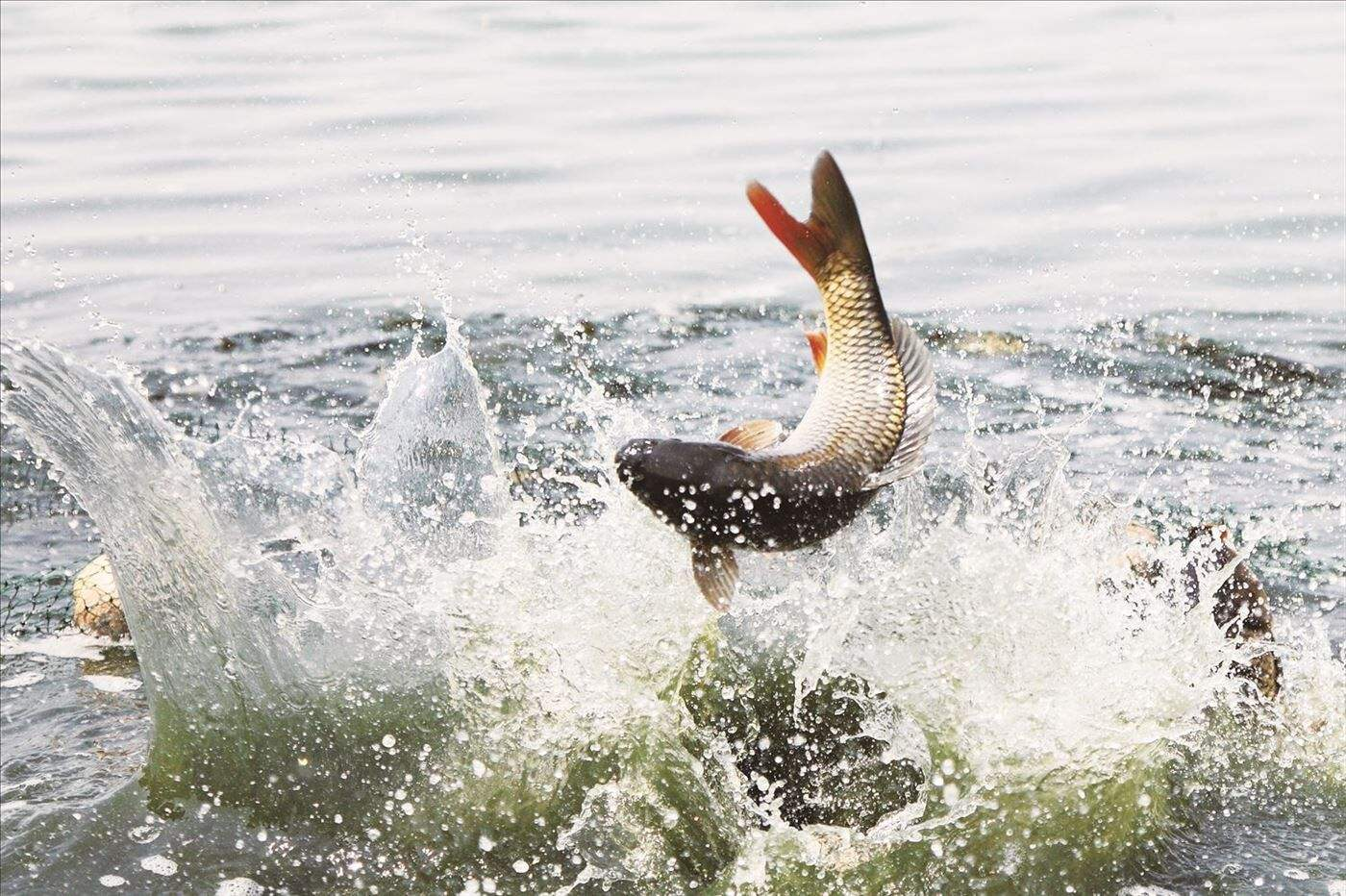 蒲地有美食――红烧黄河鲤鱼