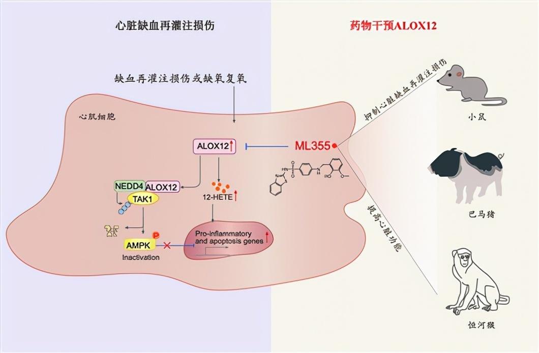 武汉大学李红良团队攻关急性心肌梗死!发现潜在药物
